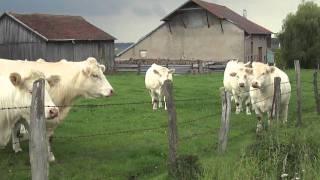 Les vaches sympatiques en Lorraine