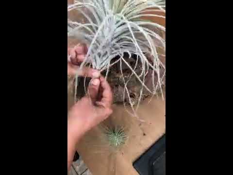 How to Mount Airplants DIY