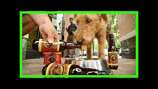 Beer for dogs: can dogs drink beer? Is beer good for dogs?