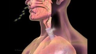 Unser Körper in 3D - Atmung