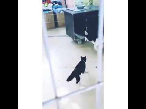 Gato se pelea con Husky y le gana