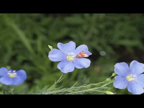 Flower Gardens : How to Grow Perennial Blue Flax (Linum Perenna)