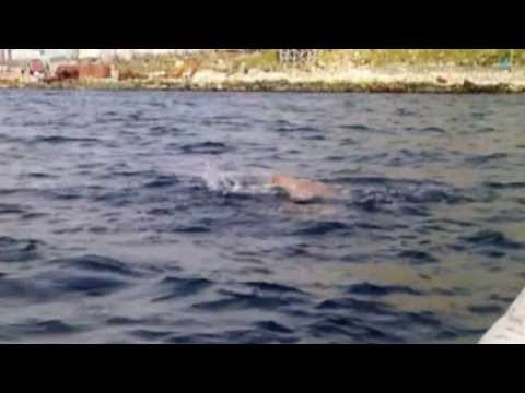 The successful  swimming of Bering Strait by Nejib Belhedi , 17 August 2013