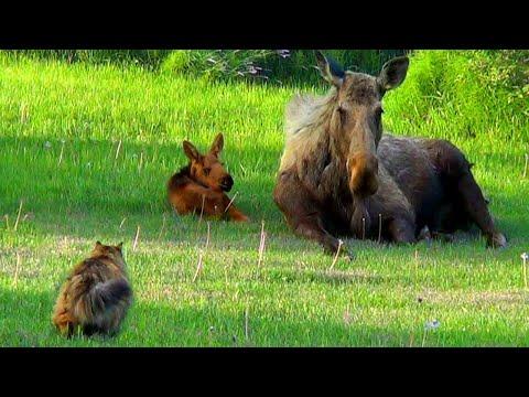 Cat Stalks Baby & Mama Moose | Alaskan Cats