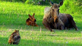 Cat Stalks Baby & Mama Moose #AlaskanCats