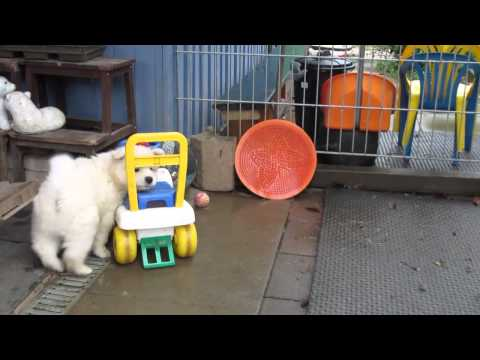 Samoyed puppy drives a toy car