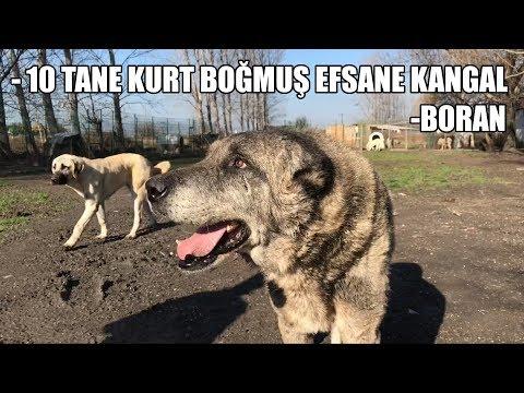 10 TANE KURT BOĞMUŞ EFSANE KANGAL - BORAN- ( Efsane Köpekler 6.BÖLÜM ) KANGAL #3 ( biggest dogs )