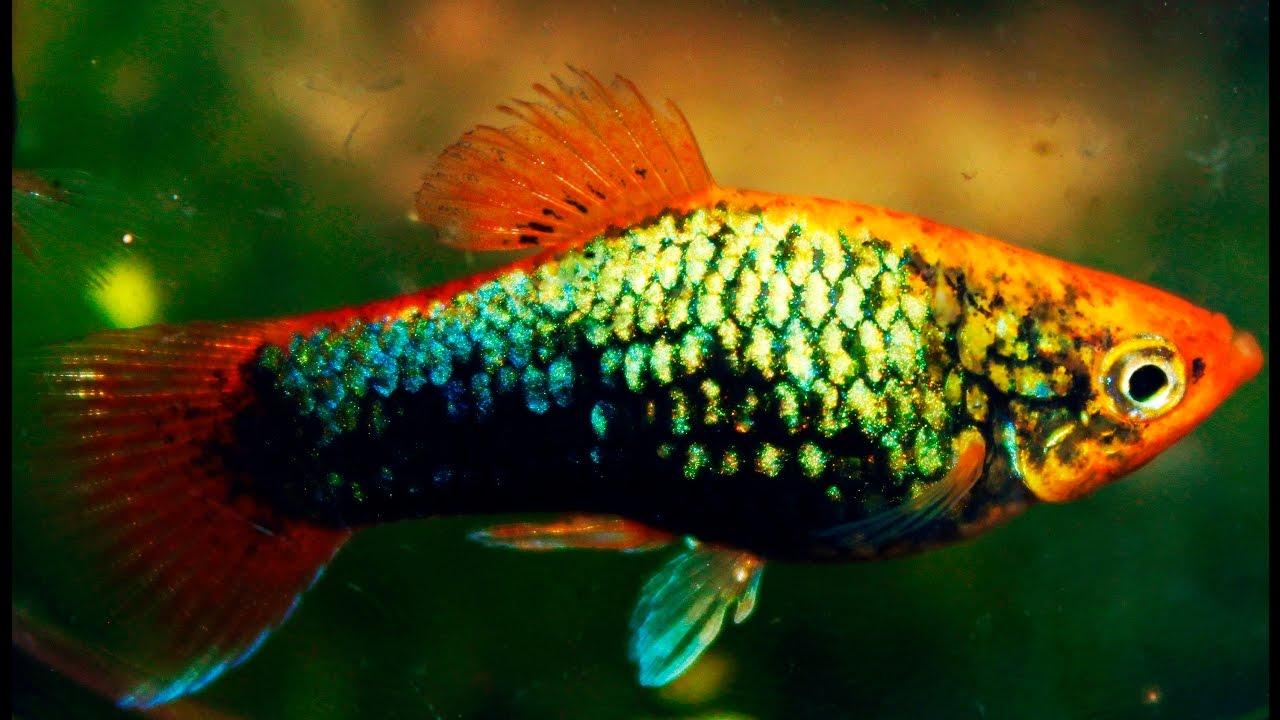 Tuxedo metallic platy youtube for Platy fish breeding