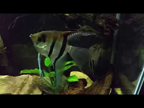 Angelfish Has Been Getting It's Fins Nipped