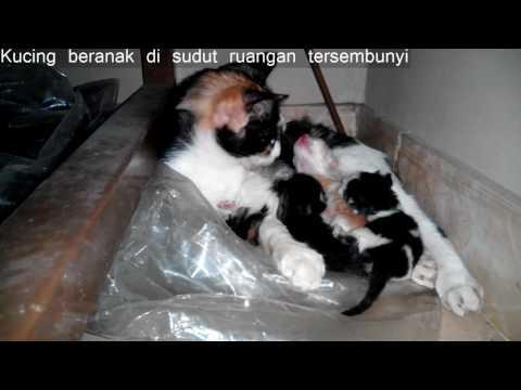 Kucing beranak ngumpet    Cat breeds