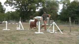 Concours de chevaux miniatures: Le saut