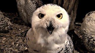 Пообщаться с совами можно в токийском кафе (новости)