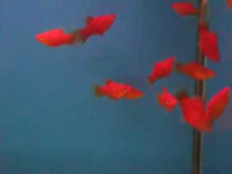 20140926 小紅豆 (紅球仔魚) | Doovi