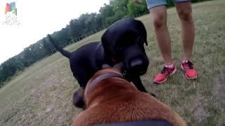 ГоПро и Боксер - Мир глазами собаки / GoPro and Boxer - Go pro dog