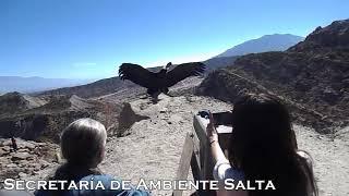 """Video: Emocionante liberación del cóndor andino """"Qhawaq"""" en Cafayate"""