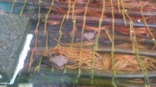 Phim | NUÔI LƯƠN KHÔNG BÙN Ở MIỀN BẮC. ĐT 0949357984 gặp Phạm Văn Tỉnh | NUOI LUON KHONG BUN O MIEN BAC. DT 0949357984 gap Pham Van Tinh