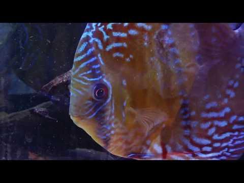 Santarem Discus Office Aquarium
