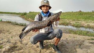 Ловля змееголова. Узбекистан / Catching snakehead. Uzbekistan
