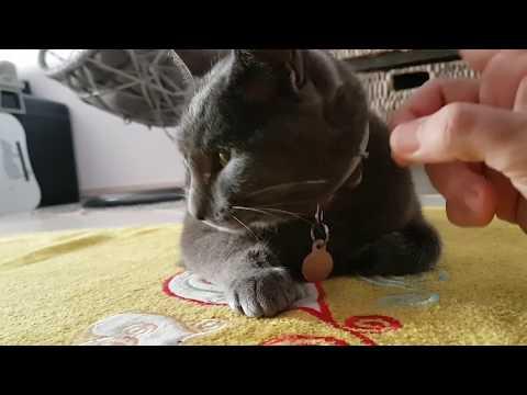 Korat Cat - V02 Mimo