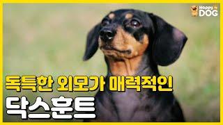 독특한 외모가 매력적인 강아지 닥스훈트! [귀여운 강아…