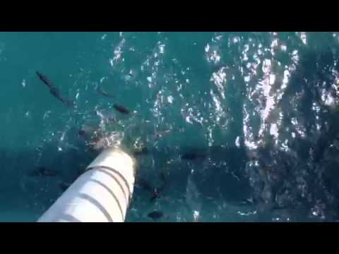 Fish feeding at abbot point