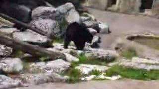 Bear walking.