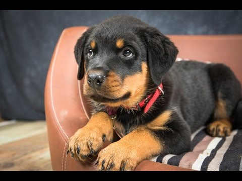 Tiny – Rottweiler Puppy – 2 Weeks Residential Dog Training