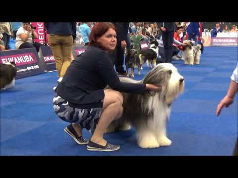 Bearded Collie All Eyes On Kiss Me Quick .Xavi