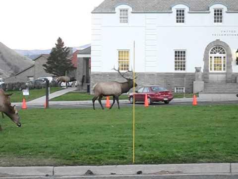 Yellowstone Elk 2