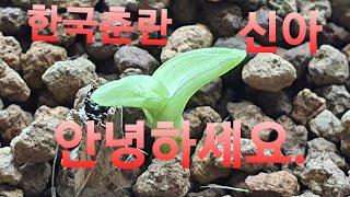 한국춘란 재테크, 대끼리 두화 신아~ㅎ