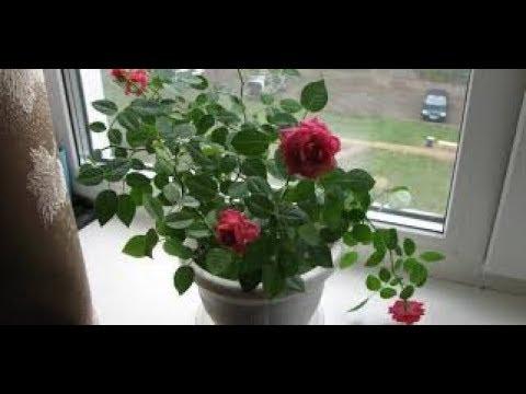 Избавиться от паутинного клеща на розе