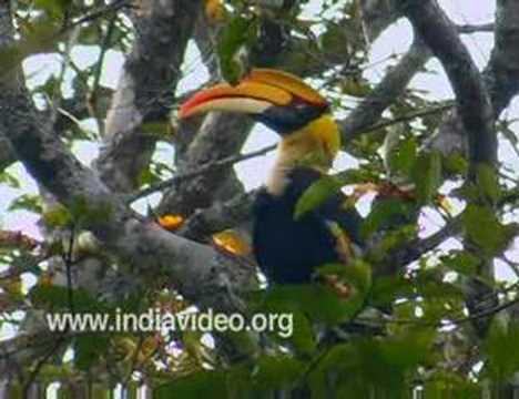 Great Pied Hornbill or Buceros bicornis