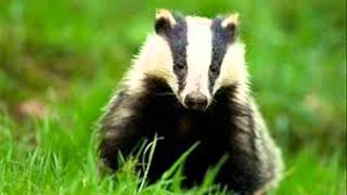 Stop the badger cull song :