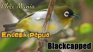 Download Lagu Endemik Papua Blackcapped Masteran mp3