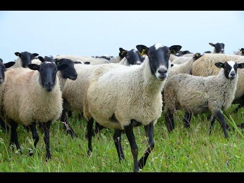 переговоры диспетчеров количество романовских овец в россии