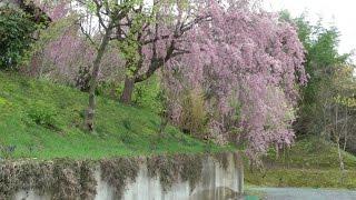 2015福島鄉間三春町桜の花