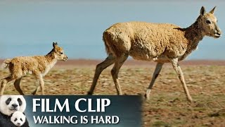 """Walking is Hard"" Clip - Disneynature"