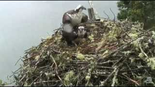 2015 06 28 this is our nest osprey