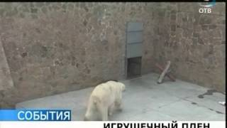 Білий ведмідь потрапив у полон власної іграшки