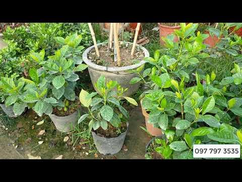 Bán cây hoa bạch thiên hương giống cây khỏe đẹp 0977973535