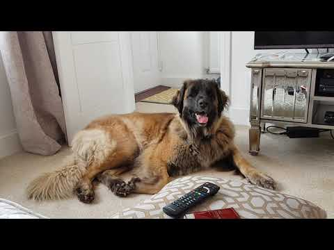 AFTERNOON ROUTINE WITH MY LEONBERGER #leonberger #dogvlogs #animals