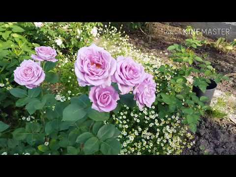 Розы, в тени +35, пекло!!! 31 мая