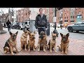 Best Trained And Disciplined Dog: Walking a Pack of Dogs