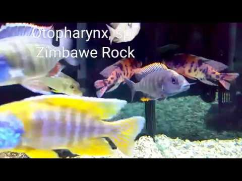 AFRICAN CICHLIDS: 6 Haps You Must Have!