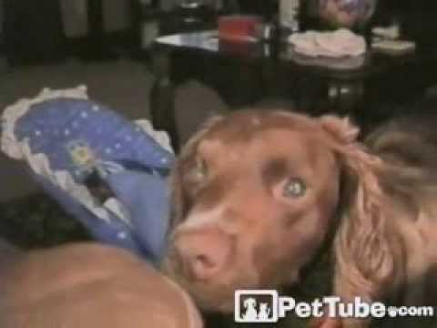 Nurturing Dog Tucks in the Baby- PetTube