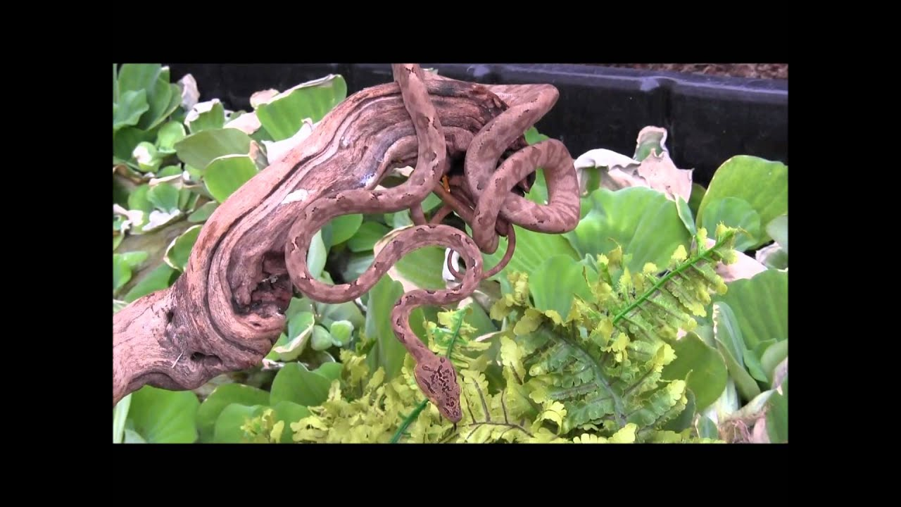 Baby Grey Amazon Tree Boa - YouTube