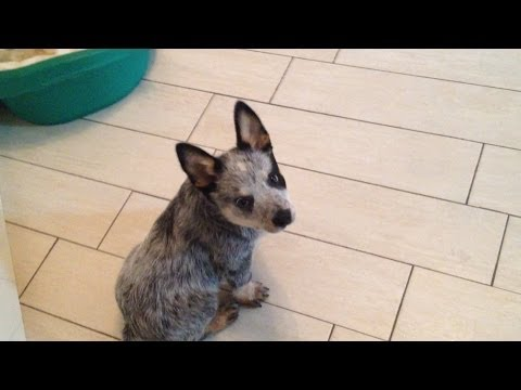 Australian cattle dog puppy runs