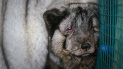 Jättikettujen kasvatus jatkuu Suomen turkistarhoilla