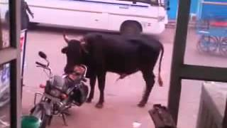 Bull tries to have sex with bike