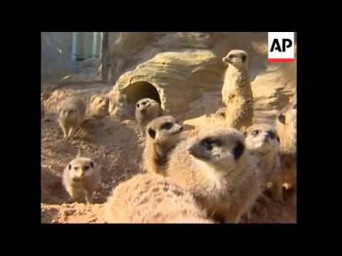 Month old Meerkats revealed for the first time at London Zoo